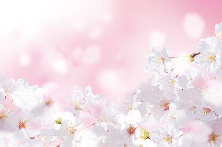 Schöne Kirschblüten von Japan Standard-Bild - 52156140