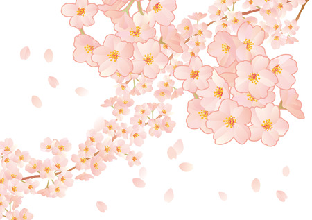 graduate asian: A beautiful cherry tree illustration in Japan Illustration