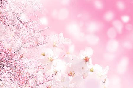 美しい桜風景 写真素材