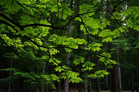 tranquil: Chestnut tree branch with leaves on a contrast dark forest background. Nature tranquil scene.