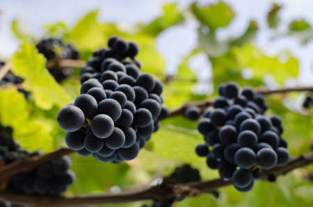 concord grape: Grapevine with hanging bunches of red grape. Ripe red grapes in bottom view. View of two bunches of ripe red wine grapes. Wonderful photo with unusual perspective, selective focus and space for text.