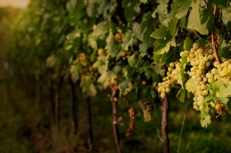 Vineyards at sunset. Ripe white grapes in dramatic light. View of vineyard row with bunches of ripe white wine grapes. Wonderful photo with selective focus and space for text. Stock Photo