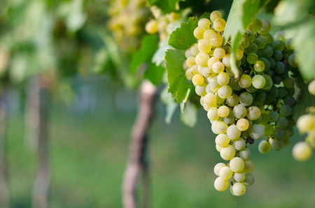 View of vineyard row with bunches of ripe white wine grapes. Wonderful photo with selective focus and space for text.