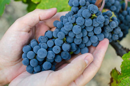 purple red grapes: Male hand holding a bunch of ripe red grapes at harvest time. Stock Photo