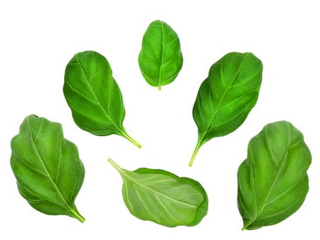 leaf vegetable: Set of basil leaves isolated on  white background. Design element for product label, catalog print, web use. Stock Photo