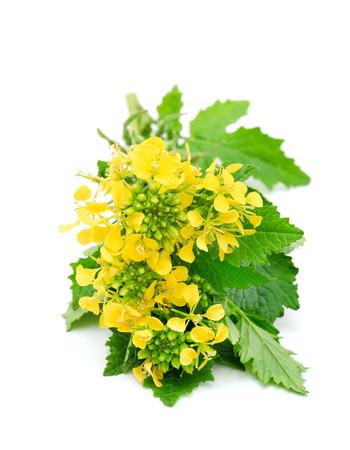 cruciferous: Sprig of fresh rapeseed isolated on white background. Design element for product label, catalog print, web use. Stock Photo