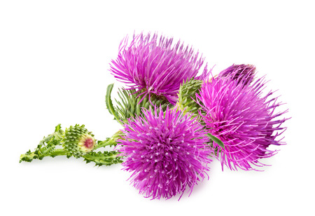 흰색 배경에 고립 된 녹색 버드 carduus의 보라색의 꽃. 제품 라벨, 카탈로그 인쇄, 웹 사용을위한 디자인 요소입니다.
