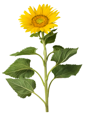 Sunflower isolated on a white background. Design element for product label, catalog print, web use. Stock Photo