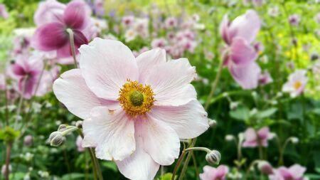 anemones: Sea of anemones