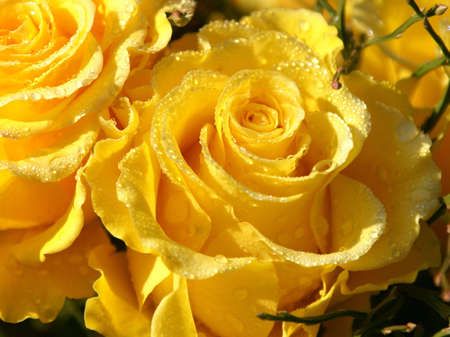 macroshot: Yellow Rose