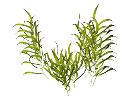 3D illustration of a kelp Stock Illustration - 7149482