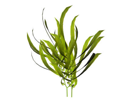 raytrace: 3D illustration of a kelp Stock Photo
