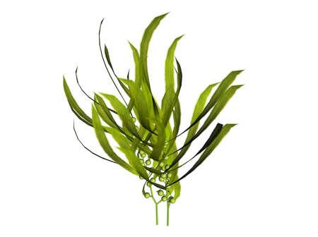 alga marina: Ilustraci�n 3D de un kelp