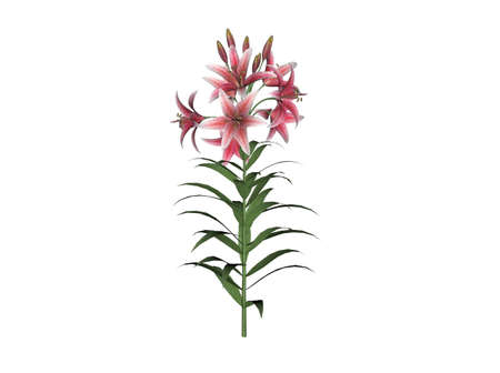 asiatic: Illustration of an asiatic lily (raytraced image)