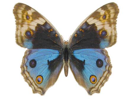 Illustration of a butterfly, Blue Pansy, ray-traced image Reklamní fotografie