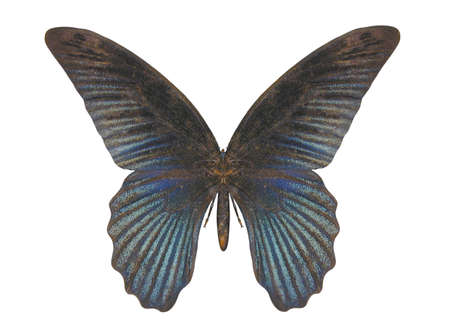 raytrace: Illustration of a butterfly, Blue Swallow Tail, ray-traced image