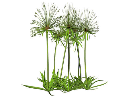 papyrus: Illustration of a papyrus plant (raytraced image) Stock Photo