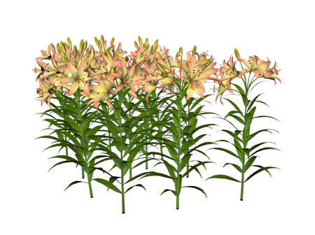Illustration of an asiatic lily (raytraced image) Stock Illustration - 7149579