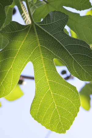 A single fig-leaf as seen from below the plant