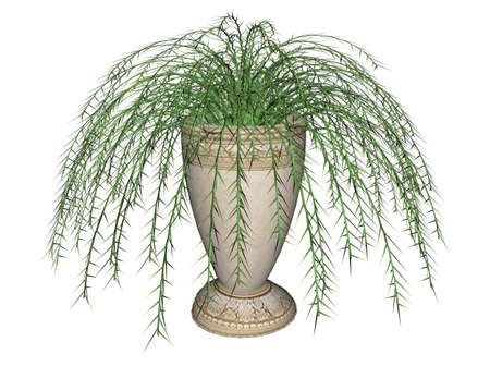Illustration of an Asparagus Fern, a hanging plant
