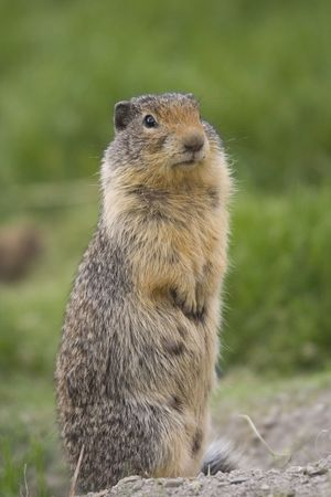 Columbian Ground Squirrel upstanding - on a meadow - Stock Photo - 1807715