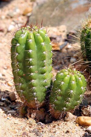 torridity: Cactus - Globe Thistle