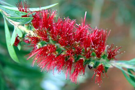 callistemon: Bottlebrush Close-up - Callistemon