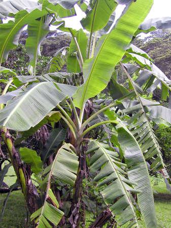 banana plant in the caribbean rainforest    Stock Photo - 1828794
