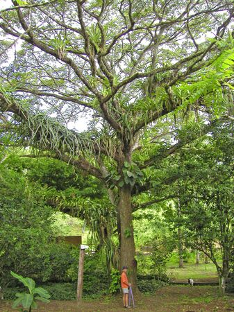 epiphyte: giant tree and small hiker in a tropical rainforest