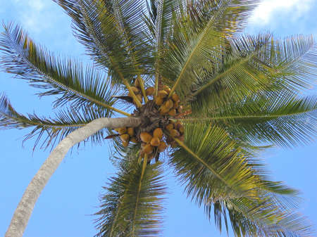 coconuts growing on a palm - rich harvest Stock Photo - 1828852