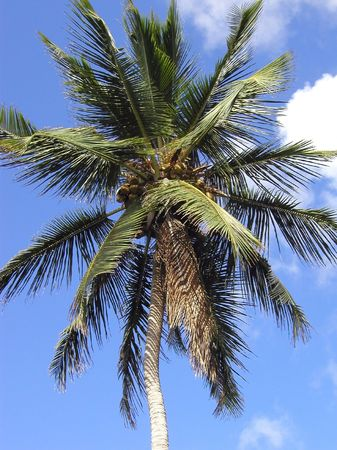coco palm with coconuts    photo