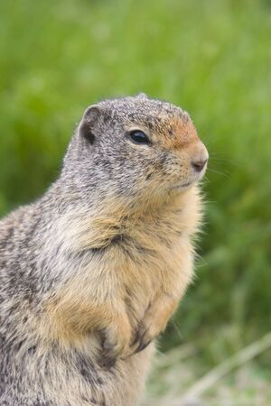 Columbian Ground Squirrel portrait - on guard photo