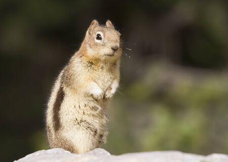 rockies: chipmunk in the rockies - on alert -  Stock Photo