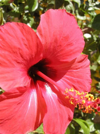 anthers: Red Hibiscus Closeup - with big yellow anthers. Taken in Greece.