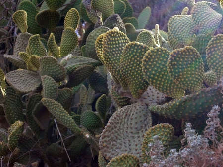 torridity: Cactus - Prickly Pear - Crete, Greece     Stock Photo