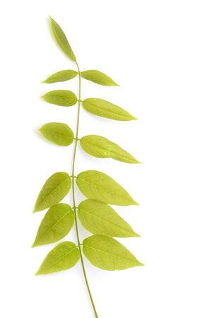 wisteria: leaf of a wisteria - on white -  Stock Photo