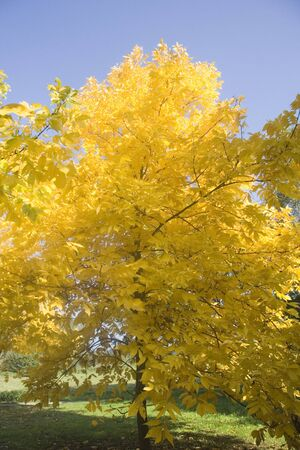 hickory nuts: pignut hickory - common tree of eastern North America - in autumn colors -