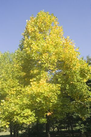 tulip tree - native to eastern north america - in autumn colors -  photo