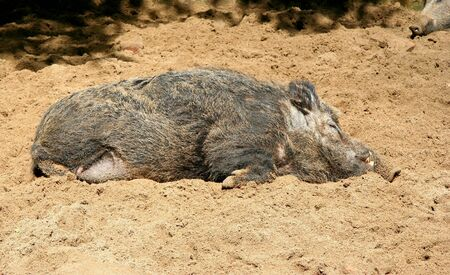 Lazy Wild Boar - sandy and relaxed wild boar photo