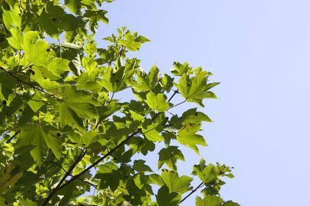 sicomoro: Parte di un albero sycamore - pericolo di degrado dei boschi