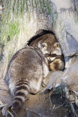 procyon: raccoon  - procyon lotor in the hole of a tree  Stock Photo