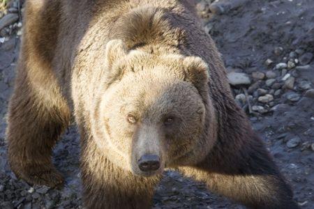 curious kodiak bear - close-up  photo