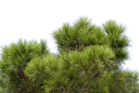 cusp: part of a stone pine - French Riviera Stock Photo