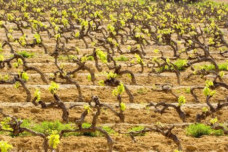 terroir: vineyard in spring - French Riviera - shallow DOF, focus is on the front grapevines