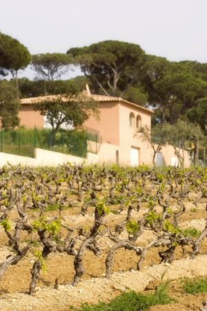 winemaker: vineyard and winery in spring - French Riviera - shallow DOF, focus is on the front grapevines