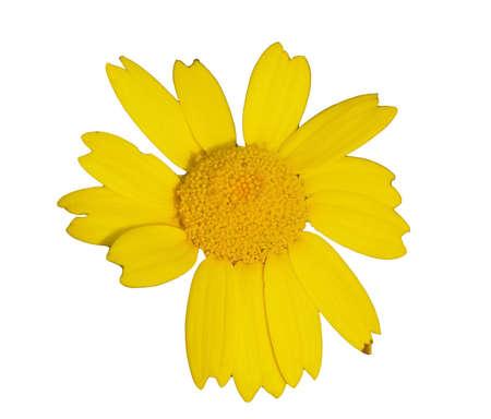 anthesis: yellow wildflower - springtime Stock Photo