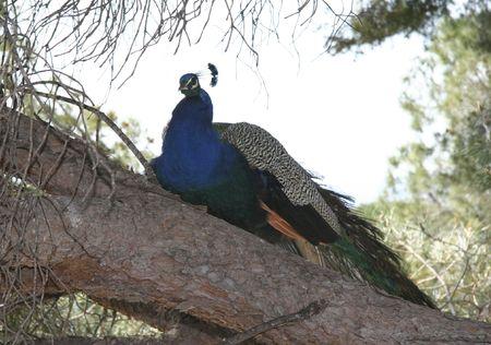 peacock on a tree -  national bird of burma and india  photo