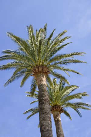 palmy: palm trees - french riviera, mediterranean sea
