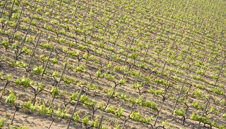 terroir: vineyard in spring - french riviera