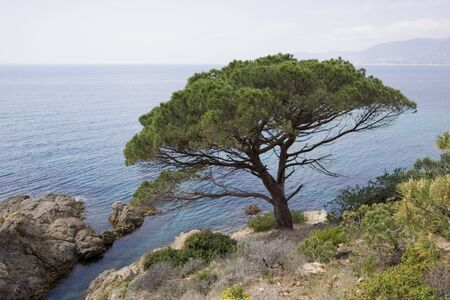 pinaceae: stone pine on the coast of the mediterranean sea - french riviera
